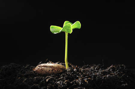 seedling growing: Green sprout growing from seed Stock Photo