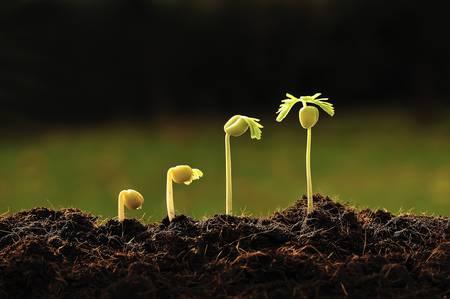 agricultura: paso de tamarindo creciente brote