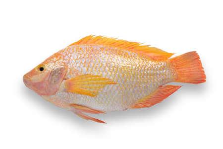 cichlidae: Fresh fish isolated on white