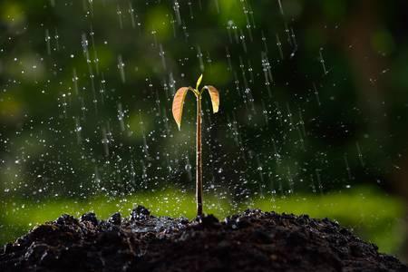 mango tree: Green sprouts in the rain   mango tree
