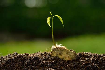 semilla: Brote verde que crece de la semilla del árbol de mango