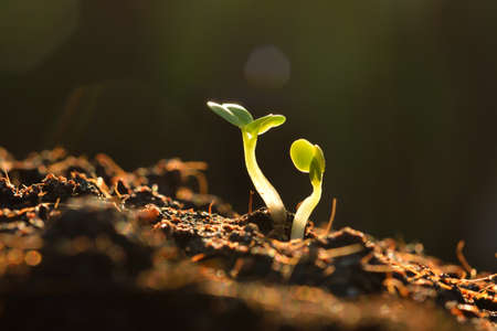 Green seedling growing out of soil in sunshine
