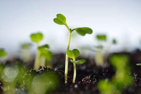 Groene zaailing groeien van de bodem in de zon Stockfoto