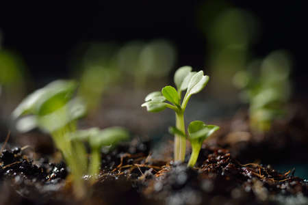 Green seedling growing out of soil in sunshine photo