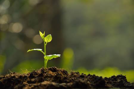 come�o: Jovem planta na luz da manh