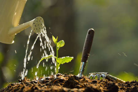 seedling growing: Sprouts watered from a watering can Stock Photo