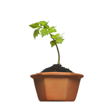 Young plant in pot isolated on the white backgrounds photo
