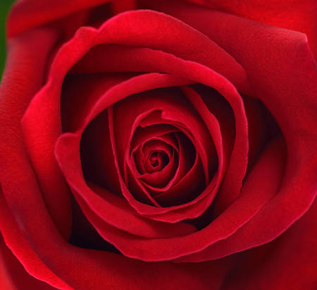 Extreme close up of red rose flower