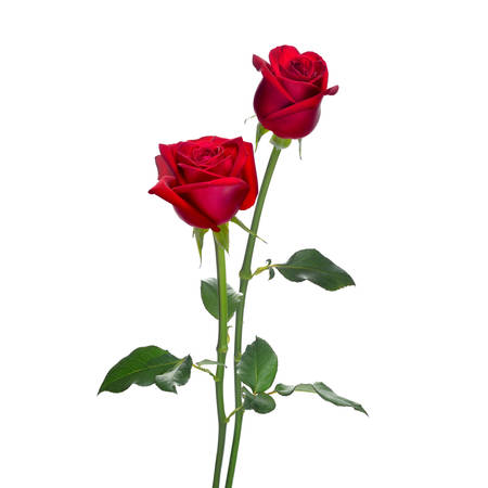 Red rose flowers isolated on white background