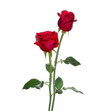 Rosso fiori isolati su sfondo bianco rosa Archivio Fotografico - 33319767