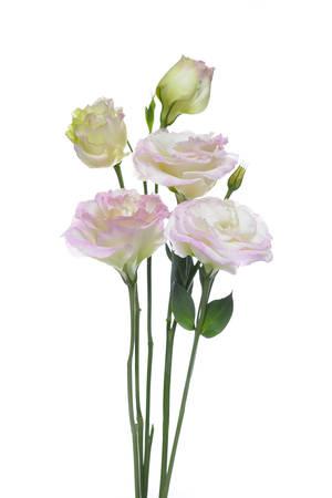 Pink lisianthus or eustoma flowers on white background photo