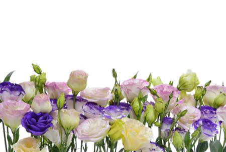 Colorful lisianthus or eustoma flowers on white background photo