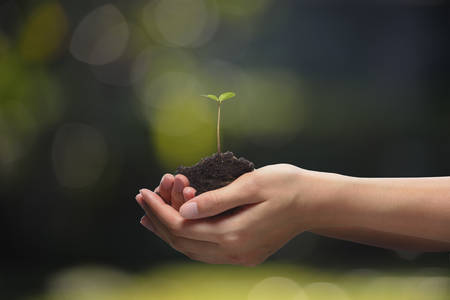 seedling growing: Hands holding a green young plant