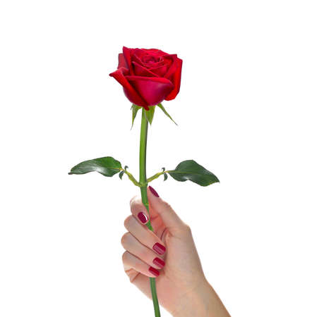Hand holding beautiful red rose flower isolated on white