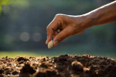 siembra: Granjero mano plantar una semilla en el suelo