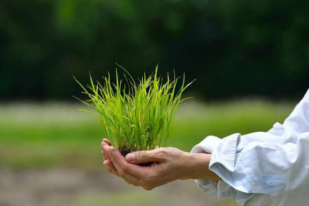 Boeren handen houden rijstspruit op veld achtergrond Stockfoto