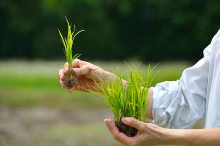 Landbouwershanden die rijstspruit op gebiedsachtergrond houden Stockfoto - 47348870