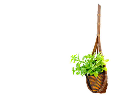 spring green: Hanging basket plant isolated on white background Stock Photo