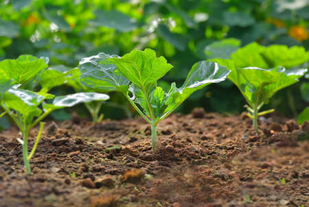 grow food: Chinese kale vegetable growing out of the earth on in garden Stock Photo