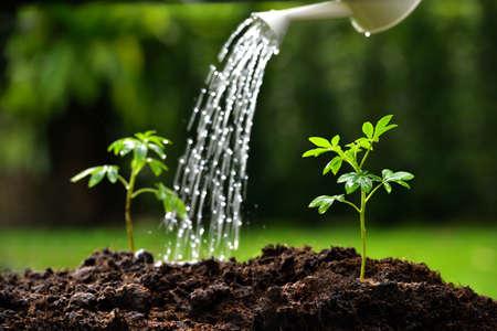regando plantas: Brotes regadas de una regadera pueden centrarse en planta de la derecha
