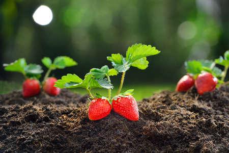 fresa: Primer plano de la fresa madura en el jardín Foto de archivo