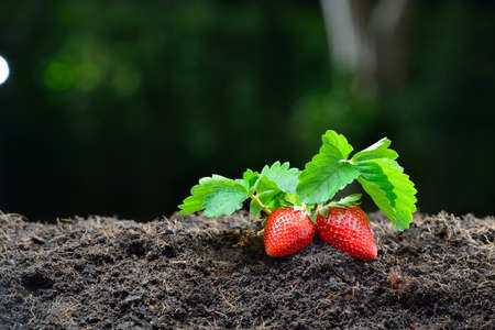 strawberry plant: Close-up of the ripe strawberry in the garden