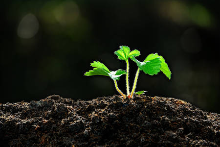 raíz de planta: Jóvenes de plantas en la planta de fresa luz de la mañana