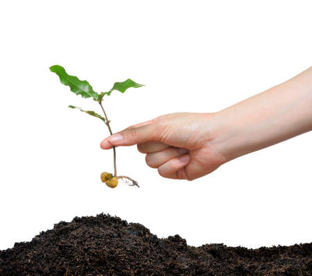 beginning: A hand planting young plant with seed on the soil isolated on white Stock Photo