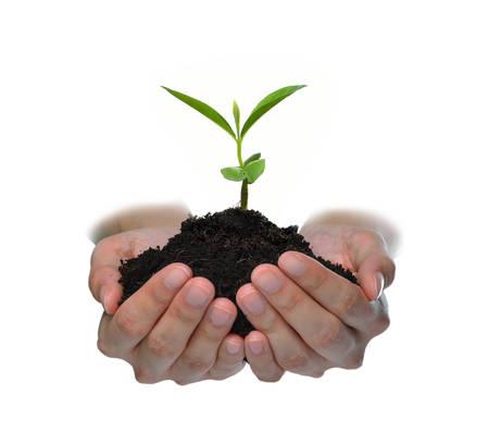Hände, die eine grüne junge Pflanze isoliert auf weißem Hintergrund