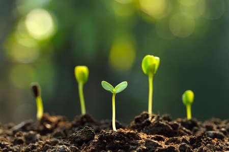 semilla: Grupo de los brotes verdes que crecen fuera del suelo Foto de archivo
