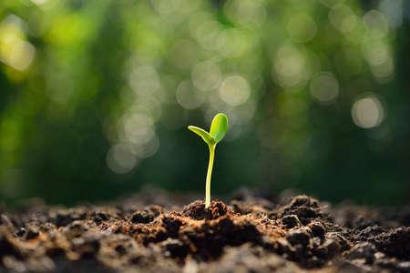 Zielonej kapusty wyrastające z ziemi w świetle poranka Zdjęcie Seryjne