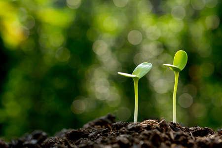 adentro y afuera: Brotes verdes que crecen fuera de suelo en la luz de la mañana