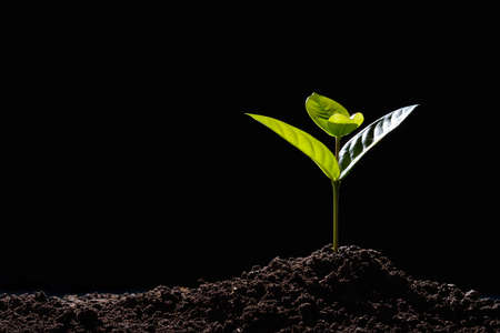 검은 배경에 아침 빛에서 토양에서 자라는 녹색 콩나물