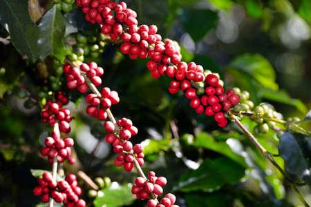 Pianta del caffè con chicchi di caffè su piantagione di caffè Archivio Fotografico - 68788804
