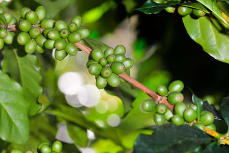 Coffee tree with coffee beans on coffee plantation