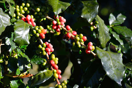 arbol de cafe: Coffee tree with coffee beans on coffee plantation