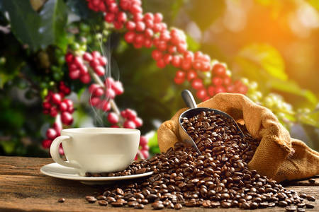 granja: Taza de café con granos de humo y café en la bolsa de arpillera en el fondo del cafeto