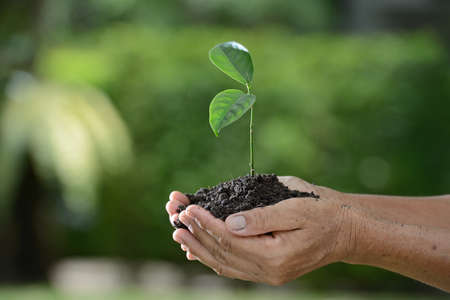 seeding: Hands holding a green young plant in the morning light on nature background Stock Photo