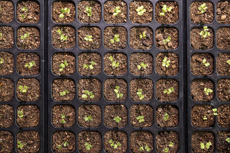 Top view image of young plants growing in nursery tray in the garden