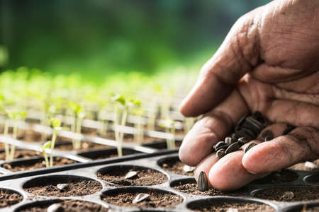 Farmers hand planting seeds in soil in nursery tray