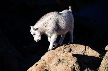 cabra montes: Cabra del beb� de la monta�a contra el fondo oscuro