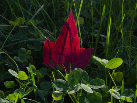 red clover: Red maple leaf amongst green grass and clover
