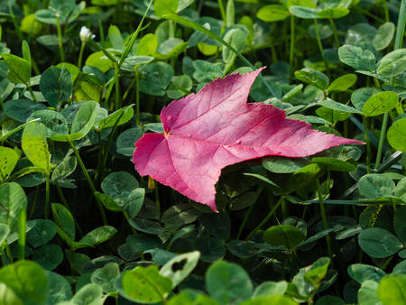 red clover: Red maple leaf on a clover meadow Stock Photo