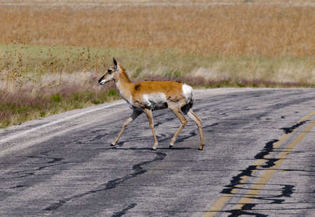 encounters: Antelope crossing the asphalt road