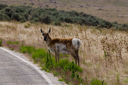 encounters: Antelope about to cross the road Stock Photo