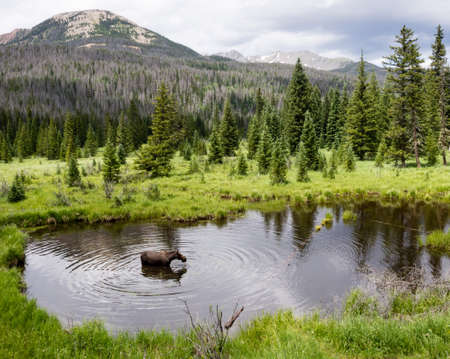 rocky mountain national park: Moose in Rocky Mountain National Park