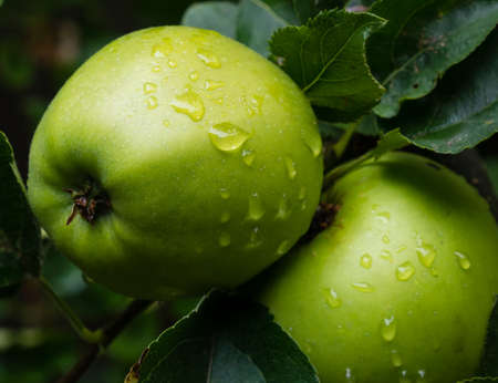 green apple: Two green apples on a tree
