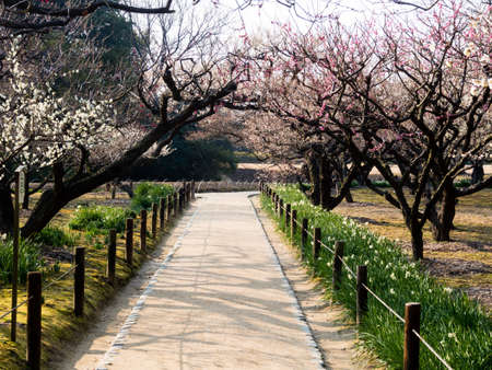 okayama: Blossoming plum grove in Okayama Korakuen garden Stock Photo