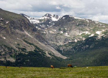 rocky mountain national park: Elks on a green meadow in Rocky Mountain National park, USA