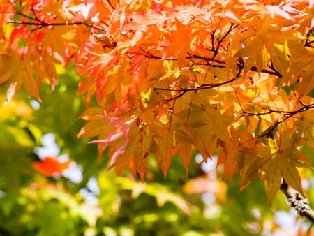 Japanese maple leaves starting to change color